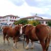 Hélette Foire chevaux pottok (13) ret