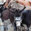 Hélette Foire chevaux pottok (22) ret