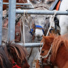 Hélette Foire chevaux pottok (36) ret