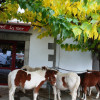 Hélette Foire chevaux pottok (45) ret