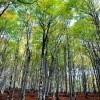 Forêt d'Iraty hêtres