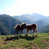 Forêt d'Iraty chevaux